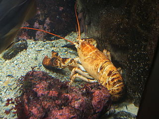 320px-Yellow-lobster