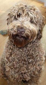 Labradoodle Dutch Dog Ollie Courtesy Wikimedia Commons