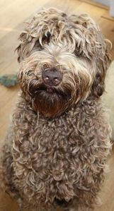 Labradoodle Dutch Dog Ollie Courtesy Wikimedia Commons
