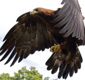 514px-Golden_Eagle_in_flight_-_5