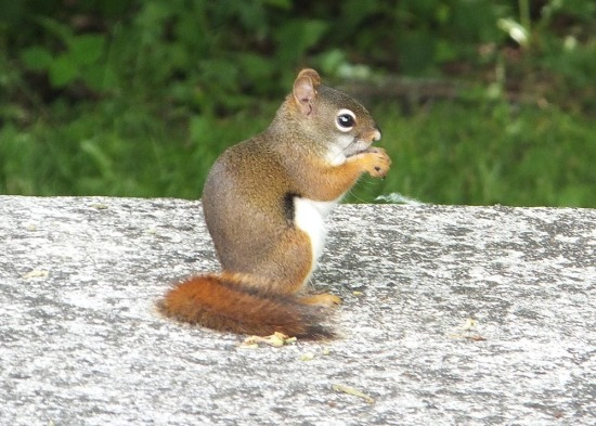 redsquirrelnationalparkservice2